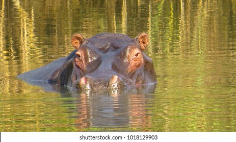 Hippopotamus bathing - Kasanka National Park, Zambia