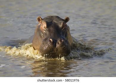 Hippopotamus charges