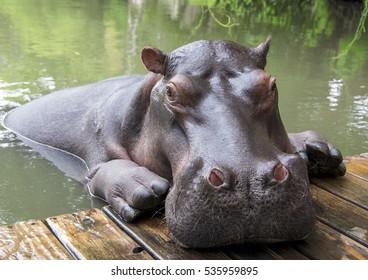 Hippopotamus closeup South Africa