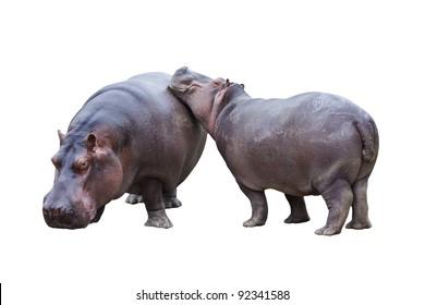 Hippopotamus couple isolated on white