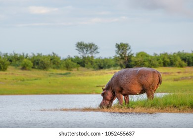 Hippopotamus drinking water in Lake Kariba national park in Zimbabwe and Zambia, African hippo drinks water beautiful background sky grass sunrise golden light