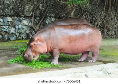 Hippopotamus in Dusit Zoo, Thailand.