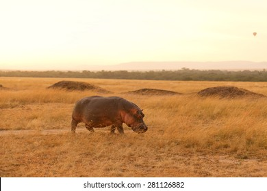 Hippopotamus early in the morning returning to the river after eating grass during the night in Masai Mara, Kenya