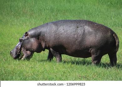 Hippopotamus eating in Zimbabwe Africa