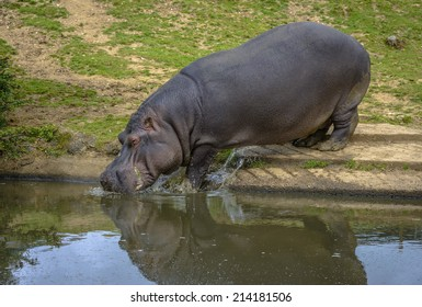 Hippopotamus entering the water to refresh itself.
