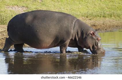 Hippopotamus enters water