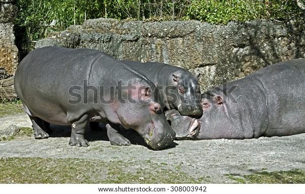 Hippopotamus family. Latin name - Hippopotamus amphibius
