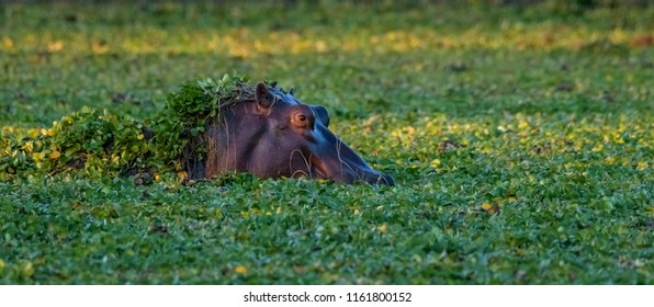 Hippopotamus grazing on water plants in lake in Mana Pools National Park, Zimbabwe with plant material on head
