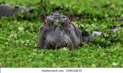 Hippopotamus in green lake water open muzzle. Hippo waiting food in zoo. Specie Hippopotamus amphibius family of Hippopotamidae. Animal in nature water habitat close up. African Hippopotamus wildlife