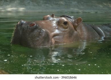 hippopotamus head