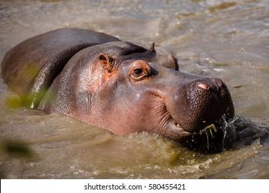 hippopotamus, hippo