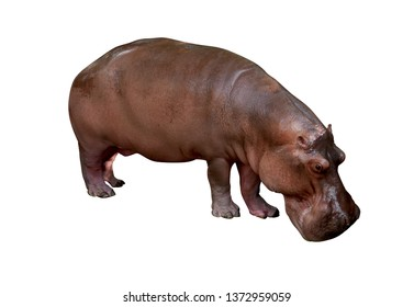 Hippopotamus isolated on white background and Clipping path.