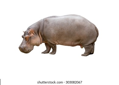Hippopotamus isolated on white background with clipping path