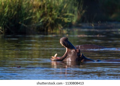 Hippopotamus in Kruger National park, South Africa ; Specie Hippopotamus amphibius family of Hippopotamidae
