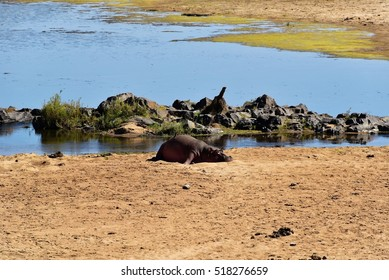 Hippopotamus in the Kruger National Park, South Africa