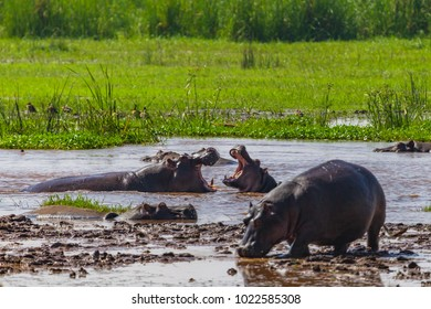 Hippopotamus. Lake Manyara National Reserve Tanzania.