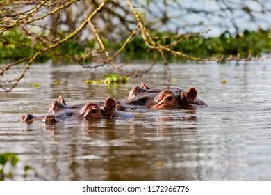 Hippopotamus in Lake Naivasha in Kenya