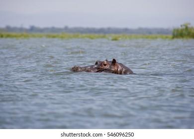 Hippopotamus in Lake Naivasha, Kenya, East Africa