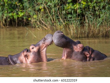 Hippopotamus mother kissing with her child in the water at the  ISimangaliso Wetland Park, South Africa