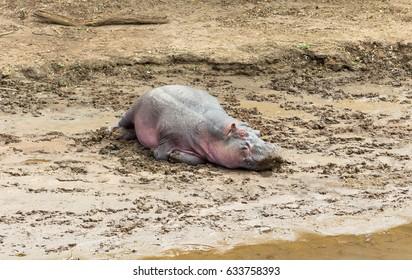 Hippopotamus in mud