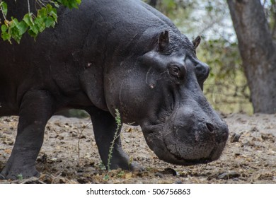 hippopotamus in the okavango