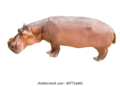 Hippopotamus on isolated background.