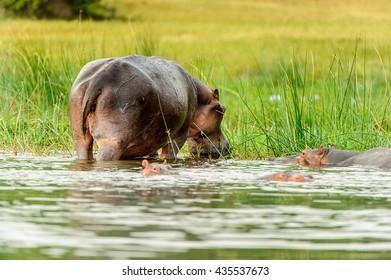 Hippopotamus in the river in Uganda, Africa