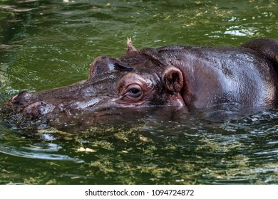 The hippopotamus of Rome's biopark