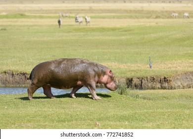 "Hippopotamus (scientific name: Hippopotamus amphibius, or ""Kiboko"" in Swaheli) taking a stroll in the Ngorogoro crater National park, Tanzania"