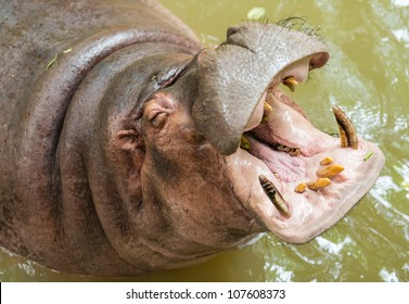 Hippopotamus showing huge jaw and teeth