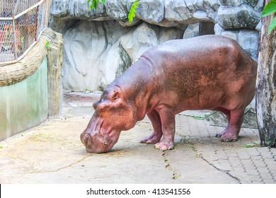 hippopotamus sleeping.