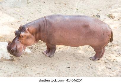 Hippopotamus standing on the ground.