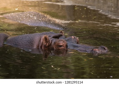 Hippopotamus submerged in water Madrid,Spain