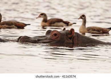 Hippopotamus surrounded by Egyptian geese in the water of Lake Mayara in lake Manyara National Park, Tanzania.