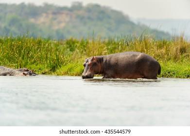 Hippopotamus in Uganda, Africa