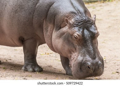 the hippopotamus walk and eat on the glound