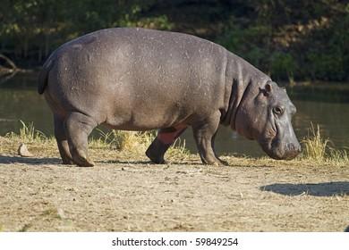Hippopotamus walking on river bank; hippopotamus amphibius