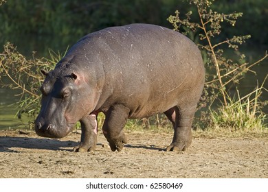 Hippopotamus walking on river bank; hippopotamus amphibius