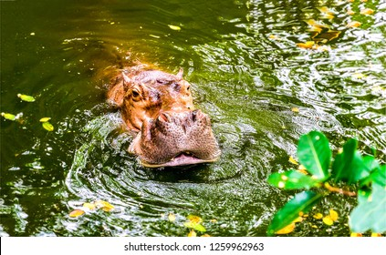 Hippopotamus in water. Hippo in water. Behemoth in water. Hippopotamus head in water