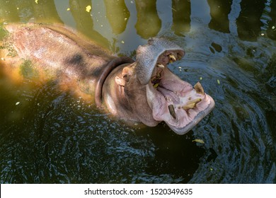 Hippopotamus in the water with its mouth open in a waterhole. Close up portrait of big bull hippo with opened mouth and food, feeding wild animal in pot, natural habitat, water outdoor.