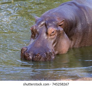 A hippopotamus in the water near the river bank