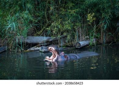 hippopotamus in water in zoo park