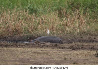 Hippopotamus with white Heron. Rwanda, Africa