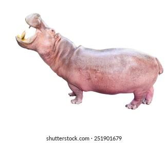 hippopotamus, wild animal isolated on white background