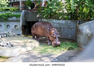 hippopotamus in the zoo