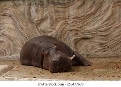 hippopotamus in a zoo lying down