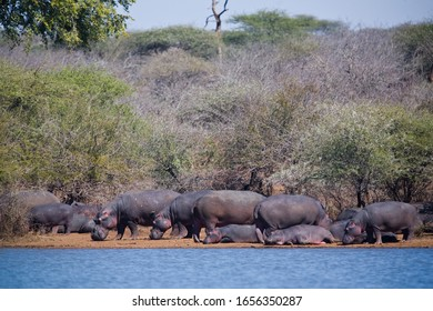 Hippopotamuses in the Kruger National Park, South Africa