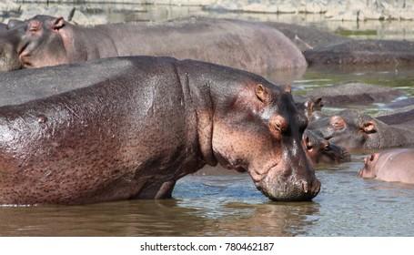 Hippopotamuses in the Serengeti Wildlife Conservation Area