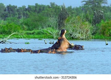Hippos in Lake Naivasha National Park in Kenya