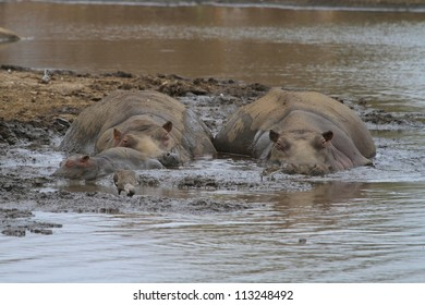 Hippos lying in mud